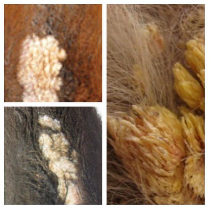 papillomavirus beim pferd warts on hands and feet treatment